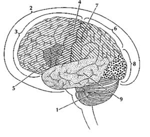 Rombo-encefalo